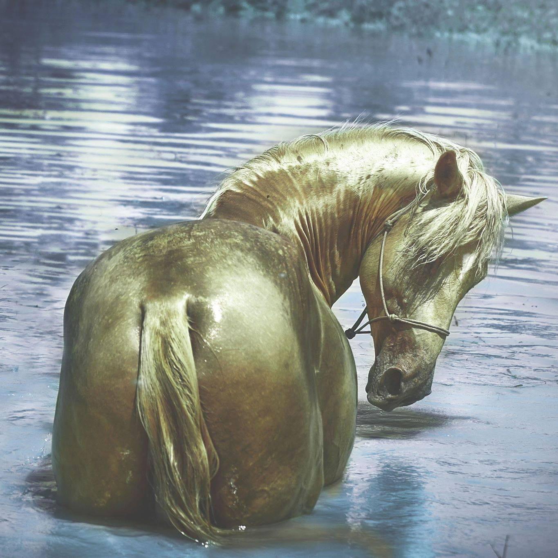 Eragon, étalon ibérique double pearl de 4 ans Féérique